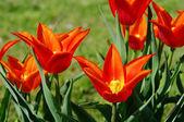 Tulip red 20 — Stock Photo