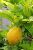 Lemon on tree 08 — Stock Photo