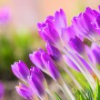 Stock Photo: Crocus 69