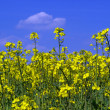 Stock Photo: Rapeseed 14
