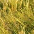 Rye field 05 — Stock Photo #11595016