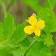 Stock Photo: Greater celandine 04