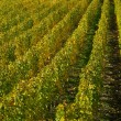Stock Photo: Vineyard 19