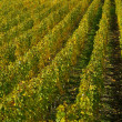 Foto de Stock  : Vineyard 19