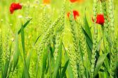 Corn poppy in field 05 — Stock Photo