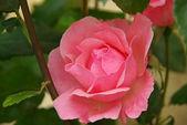 Rose 27 — Stock Photo