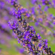 Royalty-Free Stock Photo: Lavender 58