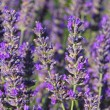 Lavender 59 — Stock Photo