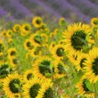 Lavender and  sunflowers 01 - Stock Photo