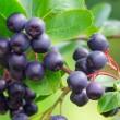 Chokeberry 03 — Stock Photo