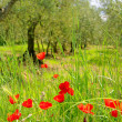 Stock Photo: Corn poppy in olive grove 03