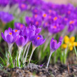 Stock Photo: Crocus 66