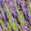 Royalty-Free Stock Photo: Lavender 57