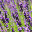 Lavender 57 — Stock Photo #11991545