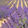 Lavender field 03 — Stock Photo