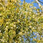 Mistletoe 22 — Stock Photo