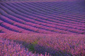 Lavender field 04 — Stock Photo