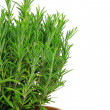 Rosemary isolated 02 — Stock Photo #12026984