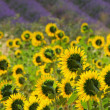 Lavender and  sunflowers 02 — Stock Photo