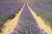 Lavender field 06 — Stock Photo
