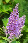 Butterfly bush 04 — Stock Photo