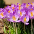 Stock Photo: Crocus 56