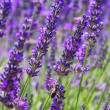 Lavender 65 — Stock Photo