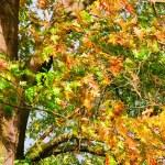 Oak leaf cluster 11 — Stock Photo