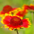 Blanket flower 02 — Stock Photo