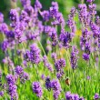 Lavender 55 — Stock Photo