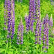 Stock Photo: Lupin 14