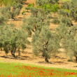 Olive tree 57 — Stock Photo #12183675