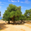 Olive tree trunk 09 — Stock Photo