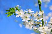 Plum blossom 75 — Stock Photo