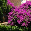 Bougainvillea 03 — Stock Photo