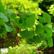 Ginkgo 38 — Stock Photo #12202136