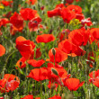 Stock Photo: Corn poppy 35