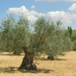 Stock Photo: Olive grove 13