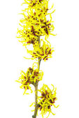 Hamamelis isolated 02 — Stock Photo