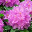 Stock Photo: Rhododendron 12