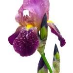 Iris 46 — Stock Photo
