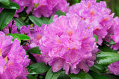 Rhododendron 12 — Stock Photo