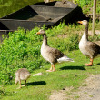 Goose 06 — Stock Photo #12248711
