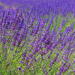 Lavender 64 — Stock Photo