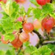 Gooseberry 03 — Stock Photo