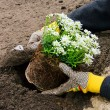 Stock Photo: Shrub planting 21