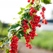 Stock Photo: Ripe currants on branch