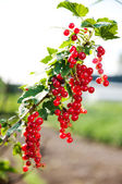Ripe currants on branch — Stock Photo
