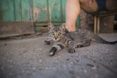 Tabby kitten with human leg — Stock Photo