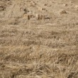 Wheat harvest, fields and landscapes - Stock Photo
